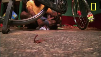 Най-смъртоносният скорпион на света!
