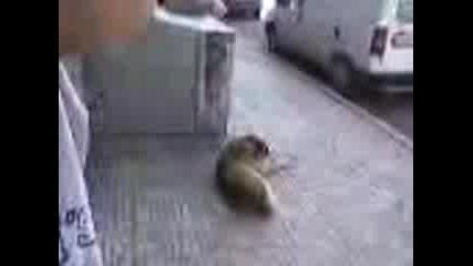 Куче Пада За Дузпа