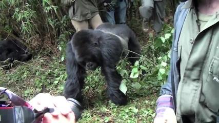 Ядосана горила напада хората