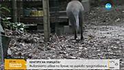 Вижте кенгуруто, което избяга от столичен цирк!