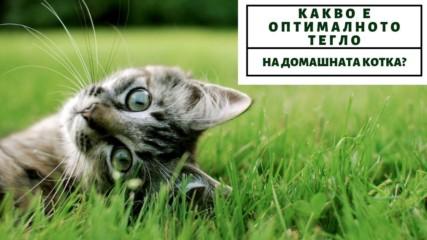 Какво е оптималното тегло на домашната котка?
