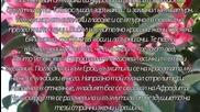 camellia- japonica