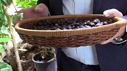 Italy: Sicily now hot enough to produce coffee, experimental outdoor plantation finds
