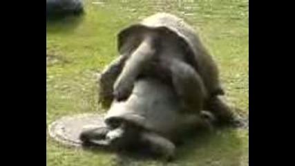 Секс между костенурки