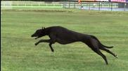 Гепард срещу Грейхаунд - Най-бързото куче в света