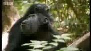 Chimps vs red colobus monkeys