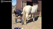 Как фермер подковава недоверчива и буйна кобила