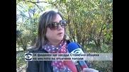 34 фиданки ще засади Столична община на мястото на отсечени тополи
