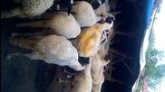 Ovce - puskane na ovni