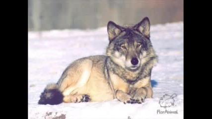 Снимки На Вълци И Кучета