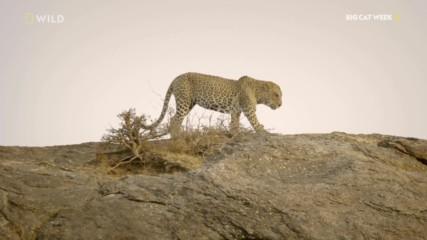 NG Wild | Леопардът