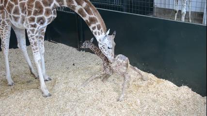 Бебе Жираф време на престояване