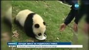 Детска градина за... панди