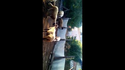 Ovce - murkane