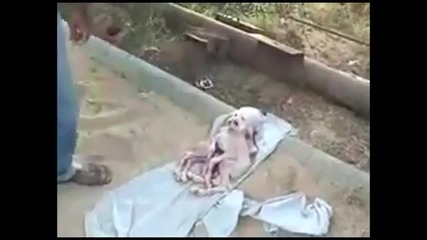 Страховито! Роди се козленце с човешка глава и 8 крака