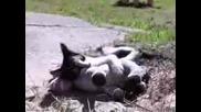 Ули4на котка яде нагло магаре Хаха Пародия.avi