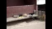 Нахална врана открадна храната на котките .