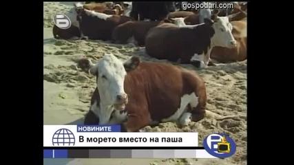 Крави на море - Господари на Ефира