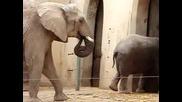 Слон яде слонско лайно