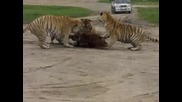 Live Tiger feeing of an ox.