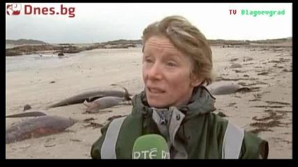 Мистериозна смърт на китове в Ирландия