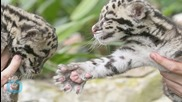 Ridiculously Cute Clouded Leopard Quadruplets Born At Tacoma Zoo