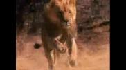 Лъвски бой