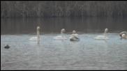 Пойни лебеди