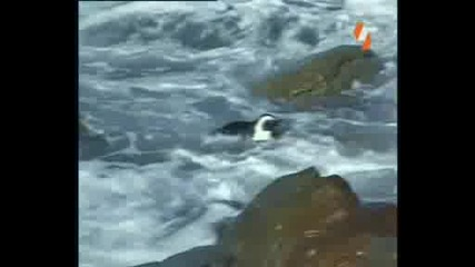 Enciklopedia Na Jivotnite - Pingvin