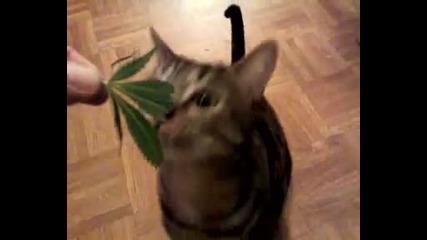 Котка яде канабис