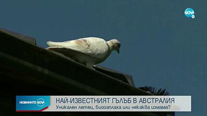 Гълъб може да е прелетял 13 хиляди километра от САЩ до Австралия