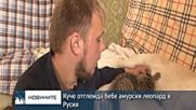 Куче отглежда бебе амурски леопард в Русия