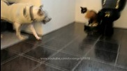 Roomba Cat swats Dog pit bull Sharky