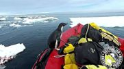 Room for a small one? Researcher's p-p-p-pick up a penguin during Antarctic voyage