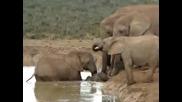 Слонове спасяват малкото си от удавяне!*субтитри*