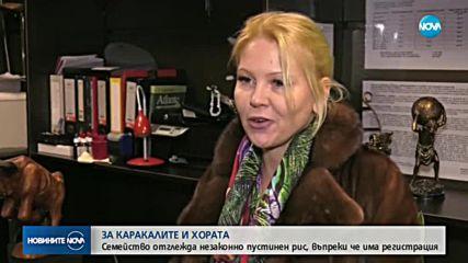 Административен абсурд: Каракалът, заснет да се разхожда из Пловдив, е отглеждан законно