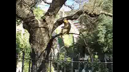 Крадлива Маймуна