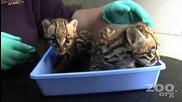 Сладки Оцелот котенца