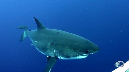 Една от най-големите Бели акули заснета на камера