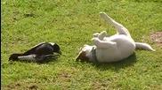 Луда игра между куче и сврака!