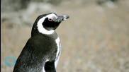 Penguin Theft in Norway!