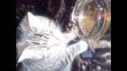 Котка Пие Бира