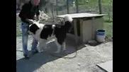 Българско Овчарско Куче - Перун