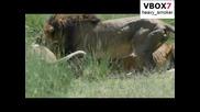 Лъвици убиват зебра