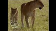 Африканските котки - Disney Nature ep3 /13.07.2013