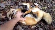 Мила лисица - Домашен любимец.