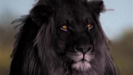 Дали Черният Лъв е реален !?!