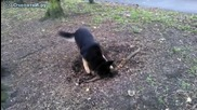 Немската овчарка нещо откачи с този корен.