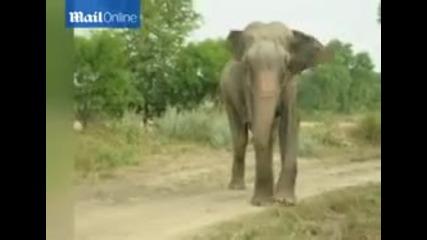 Окован във вериги слон е пуснат на свобода след 50 години в плен