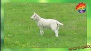 Нападението на козите - Мого смях